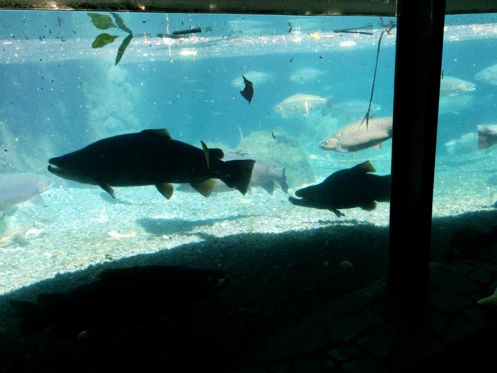 Garstig aussehende Fische, oder!? In der rechten Ecke kann man noch einen Fuß erahnen, um mal zu sehen, wie groß die Dinger waren.