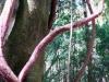 Panorama über diesen schönen Baum mit rankenden Zusatzbäumchen. Sieht schon verrückt aus.