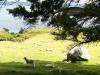Kleine Schafe sind hier auch. Hach, süß.