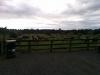 Jede Menge Kühe am Parkplatz
