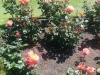 Überall Rosen. Jede Menge. In verschiedensten Farben und Größen.