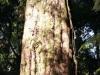 Der letzte dieser Bäume, der noch in Mount Ngongotaha steht. Der Rest ist der Pest zum Opfer gefallen.